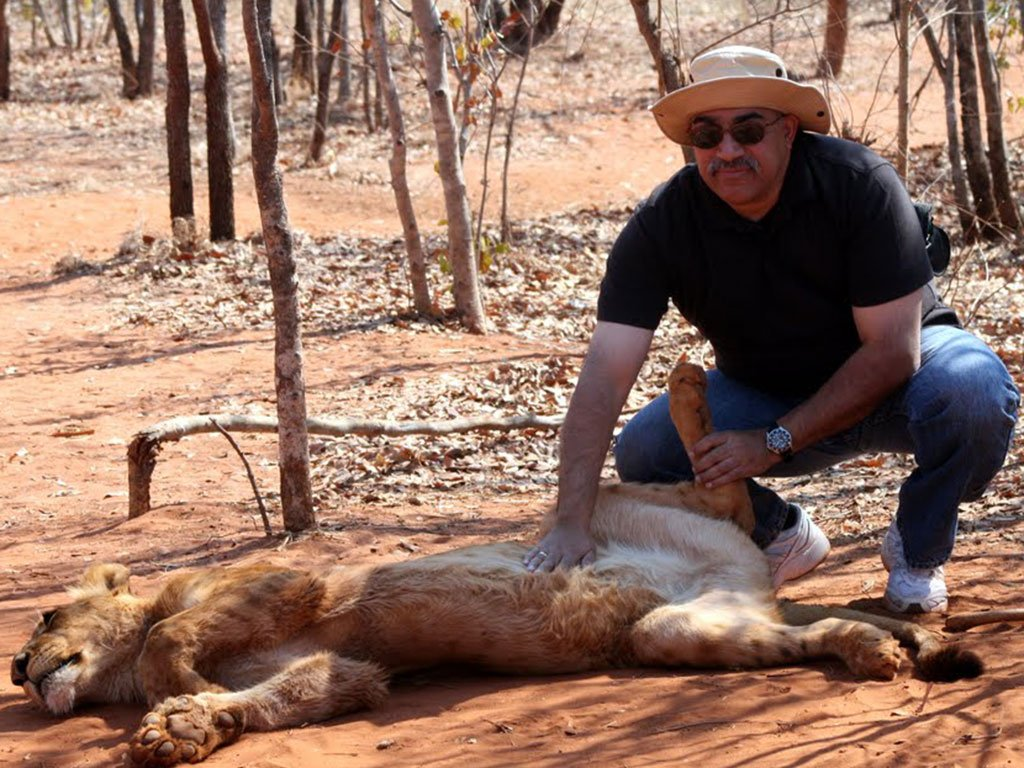 Rubbing a lion's belly